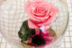 Close up view of real pink rose.