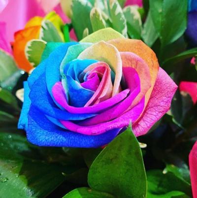 Close up shot of a single rainbow rose.